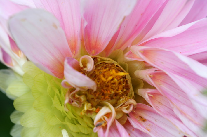 Dahlia med bortplockade kronblad